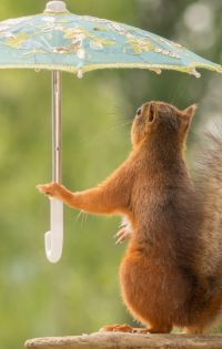 Squirrel Umbrellas Pose Mobile Wallpaper